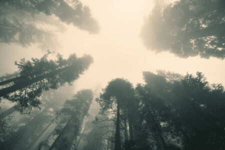 sequoia: Giant tree in fog in Sequoia National Park
