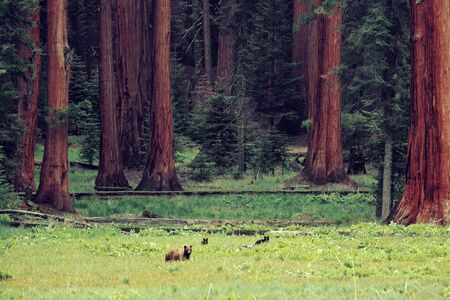 sequoia national park: Bear in wild with cubs in Sequoia National Park