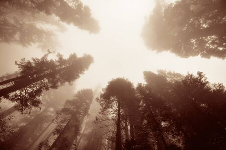 sequoia national park: Giant tree in fog in Sequoia National Park