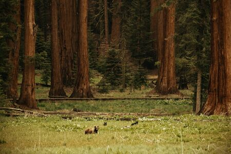 sequoia national park: Bear in wild with cubs in Sequoia National Park in black and white Stock Photo