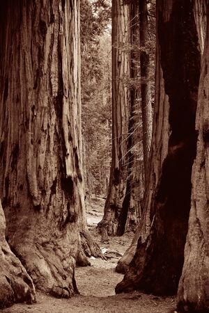 sequoia: Giant tree closeup in Sequoia National Park