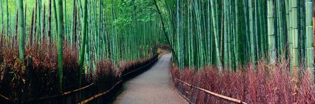 京都嵐山の竹林のパノラマ。