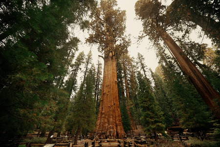 General Sherman Tree in Sequoia National Park 免版税图像