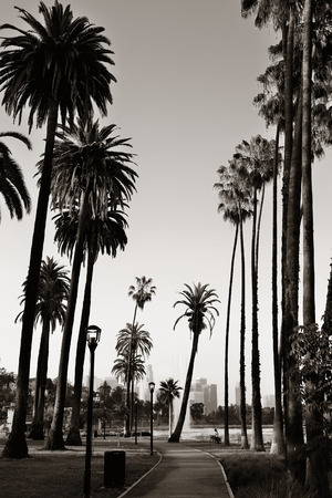 black tree: Los Angeles downtown park view with palm trees.