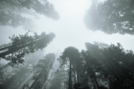 kings canyon national park: Giant tree in fog in Sequoia National Park