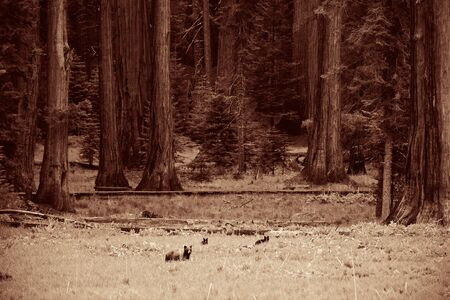 kings canyon national park: Bear in wild with cubs in Sequoia National Park in black and white Stock Photo