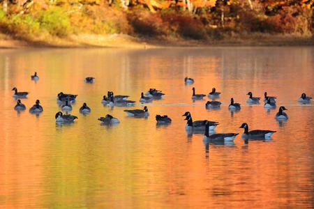 animales de la selva: Ganso canadiense en el lago con el colorido follaje de otoño.