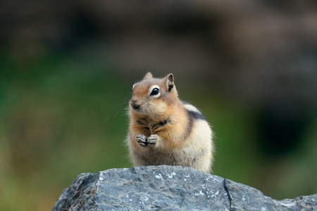 banff national park: Chipmunk in Banff national park in Canada. Stock Photo