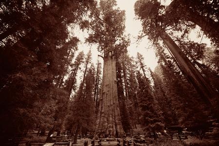 sequoia: General Sherman Tree in Sequoia National Park Stock Photo