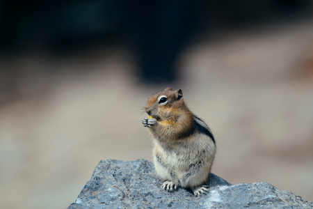 chipmunk: Ardilla en el Parque Nacional de Banff en Canad�.