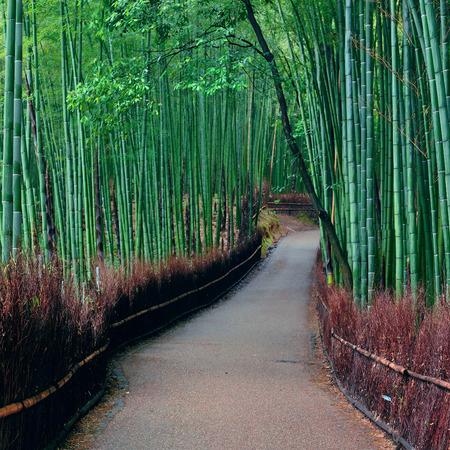 Bamboo Grove in Arashiyama, Kyoto, Japan. Archivio Fotografico