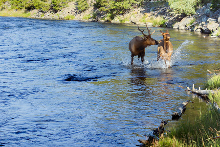wading: Elk wading in the water at Yellowstone National Park