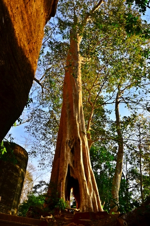 Giant tree in Bu-eng kan ,Thailand Stock Photo