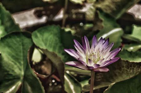 Beautiful purple waterlily or lotus flower in pond.