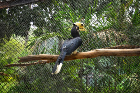 Great Hornbill in a cage at the zoo
