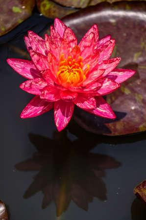 wunwisa water lily