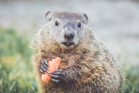 Adorable young Groundhog in grass field Stock Photo
