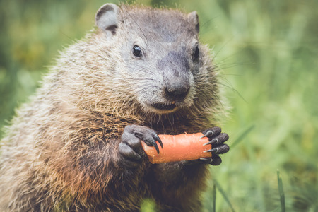 Young groundhog with funny cute expression holding carrot