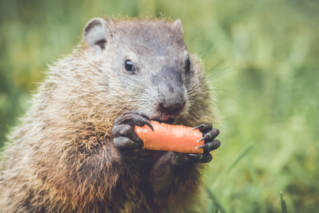 Cute little groundhog holding carrot in both hands