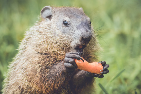 Small woodchuck about to eat a carrot
