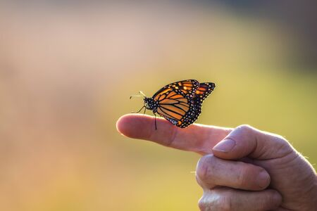 Viceroy Butterfly (Limenitis archippus) perched on finger