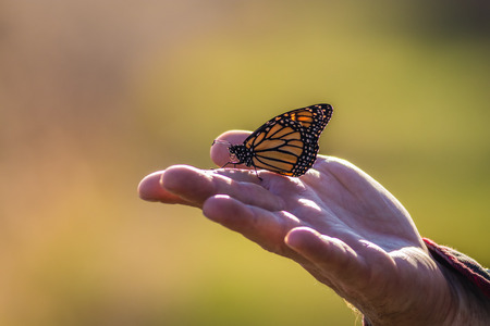 Viceroy Butterfly (Limenitis archippus) perched on hand
