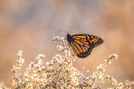 Viceroy Butterfly (Limenitis archippus) on dried flowering bushes with soft blue and beige background