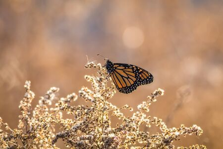 Viceroy Butterfly (Limenitis archippus) looks like the Monarch and is perched on dried flowers
