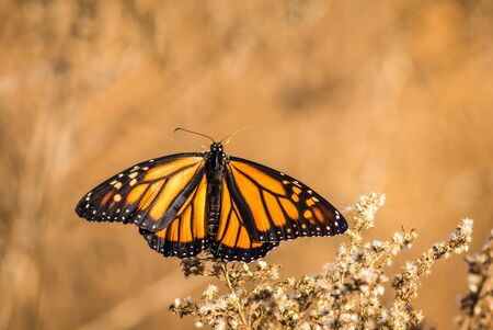 spanned: Viceroy Butterfly (Limenitis archippus) wings spanned on dried flowers Stock Photo
