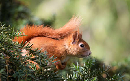 Red squirrel - Little squirrel among the green tree