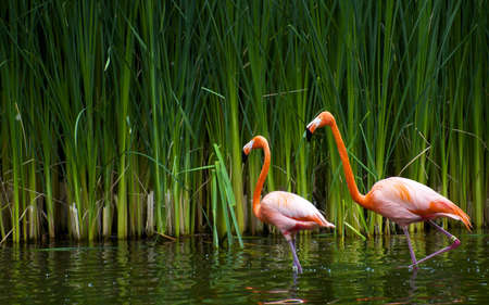 Beautiful shot of two flamingos walking in the water with green grasses in the background. Bird