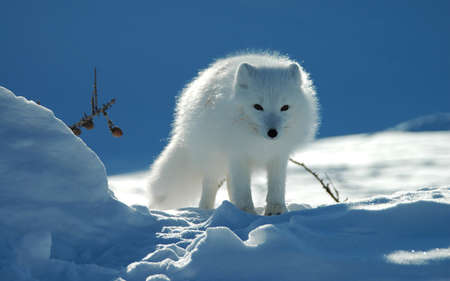 Close up portrait view of Arctic fox in snowy landscape. Animal