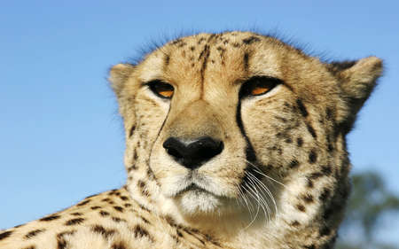 Beautiful Cheetah male looking for prey. closeup vision. Animal Reklamní fotografie