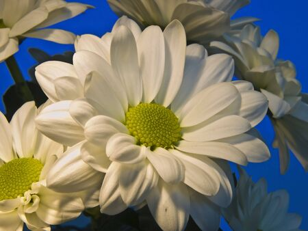 Bunch of white asters beautifully presented against a blue background Stock Photo
