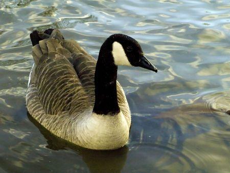 Canada goose swimming on fresh water lake