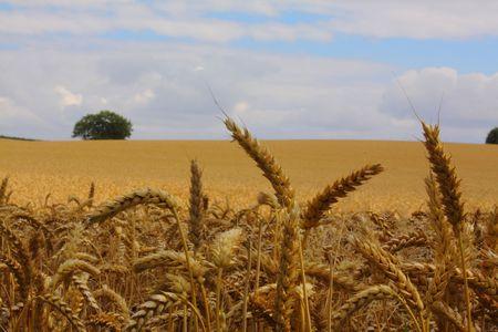 Field of ripe corn agaist a cloudy sky