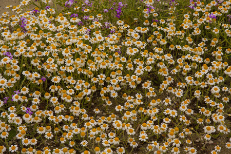 Field chamomile flower photo