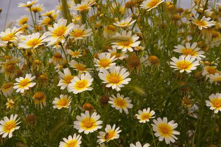 chamomile flower: Chamomile flower fild