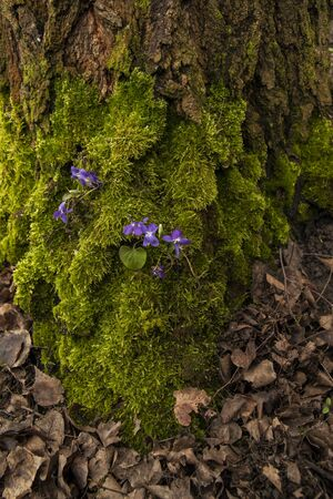 moss on a tree birch with violet flowers