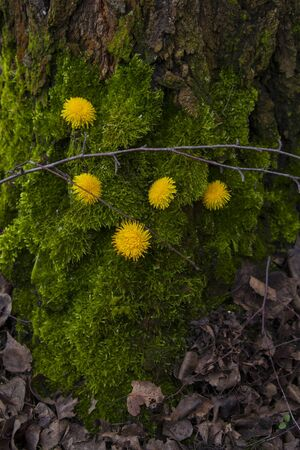 moss on a tree birch with dandelion