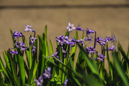 blue grape hyacinths in a garden.