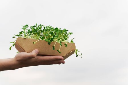 Closeup microgreen with soil in disposable plate in hands. Green microgreen of sunflower seeds. Idea for healthy vegan food delivery service. green microgreen advert with empty right side for advert