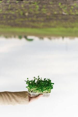 Microgreen of sunflower seeds in hands. creative upside down photo. Idea for healthy vegan green microgreen advert. Vegeterian food delivery service. Imagens
