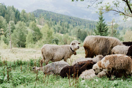 Flock of sheep in the mountains. Sheeps and rams on the green field on the farm. Production of wool from animals.
