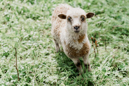 Funny sheep looks into camera on the green field. Happy animal with beautiful wool. Advert for wool, milk, cheese production from sheeps and rams