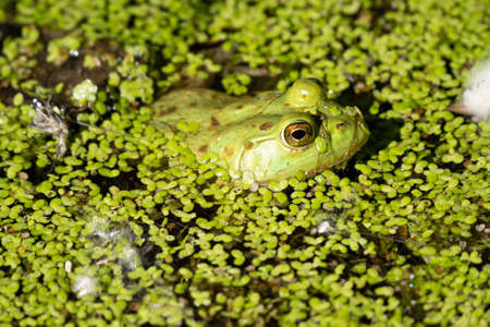 vibrant green frog hides in the lily pads of your pond Banco de Imagens
