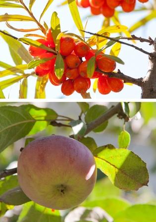 buckthorn: sea buckthorn berries and apple