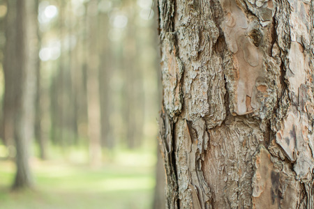 Pine trees in the forest. Bark And the tall corners of tall pines see the sky. giant, looking, travel, natural, outdoor