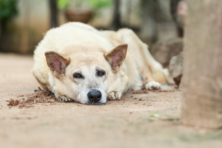 slumberous: be sleepy dog Stock Photo