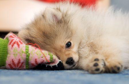 Pommeren keeshond puppy